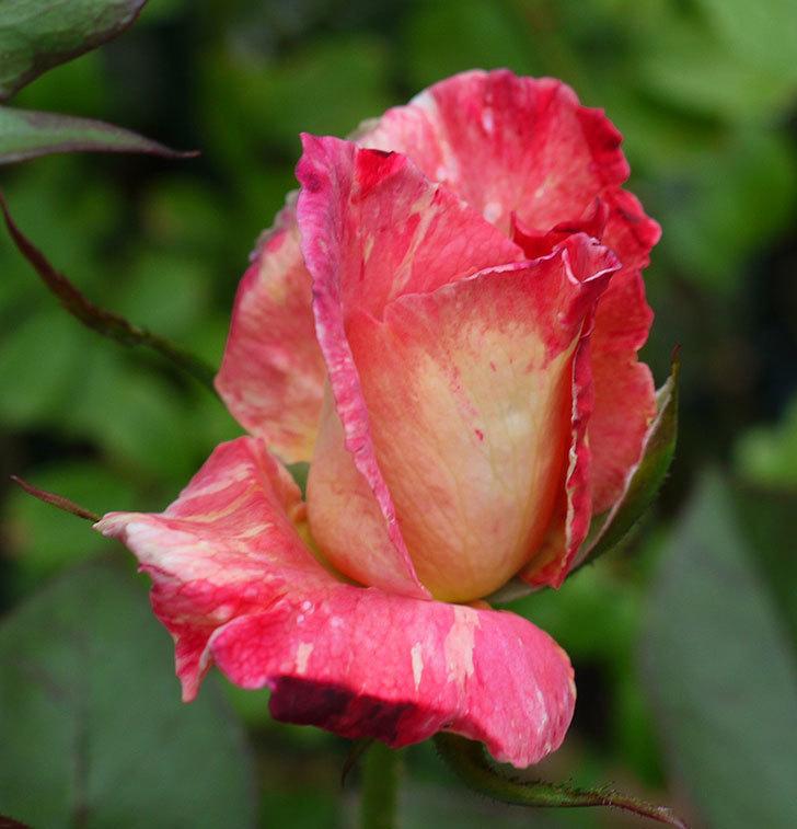 アブラカタブラ(木立バラ)の2番花がまた咲いた。2017年-3.jpg