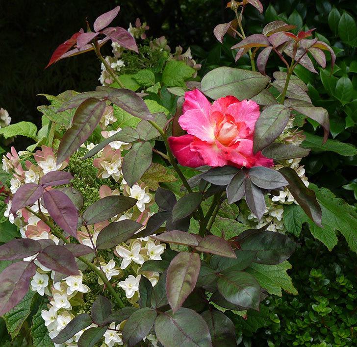 アブラカタブラ(木立バラ)の2番花が咲いた。2016年-3.jpg