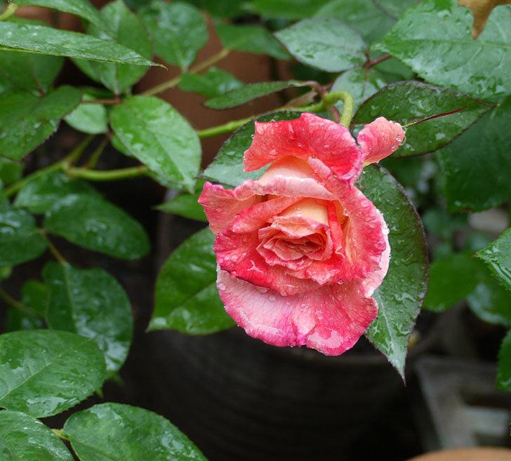 アブラカタブラ(木立バラ)の2番花が咲いた。2017年-1.jpg