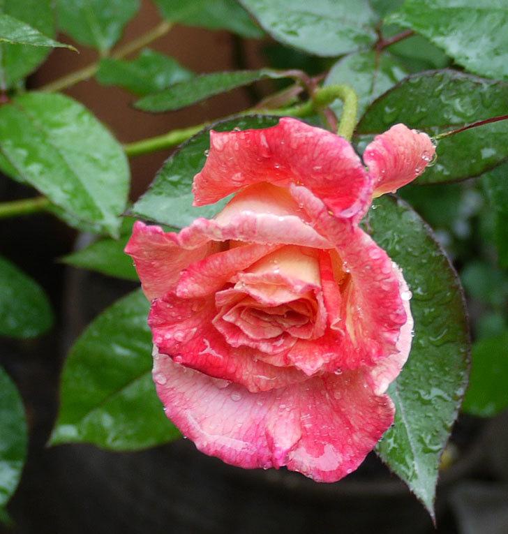アブラカタブラ(木立バラ)の2番花が咲いた。2017年-2.jpg