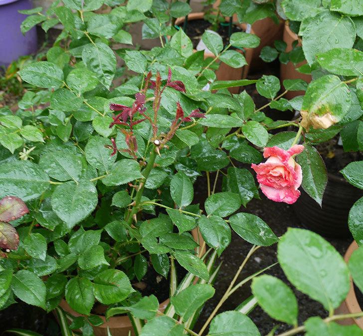アブラカタブラ(木立バラ)の2番花が咲いた。2017年-3.jpg