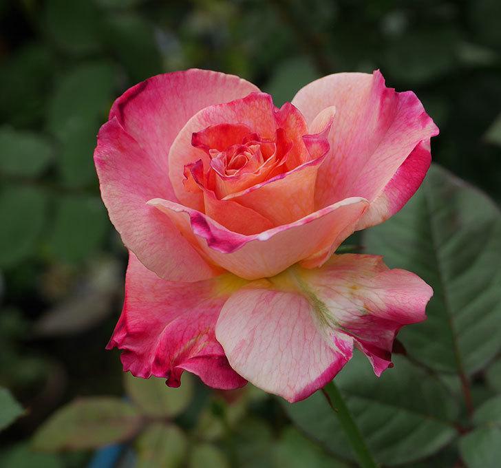 アブラカタブラ(木立バラ)の2番花が咲いた。2018年-1.jpg