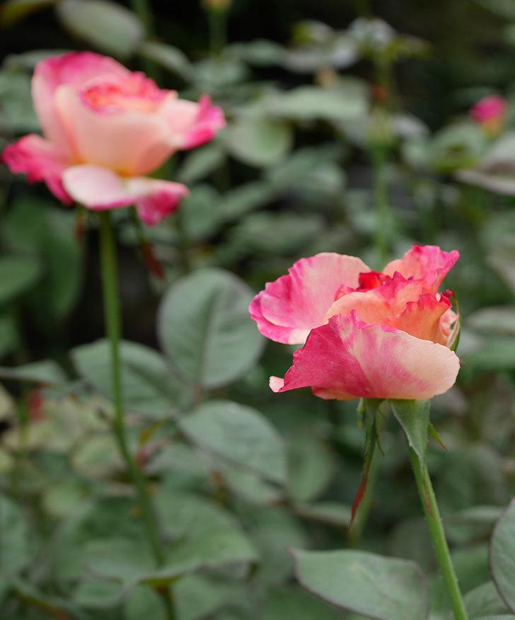 アブラカタブラ(木立バラ)の2番花が咲いた。2018年-3.jpg