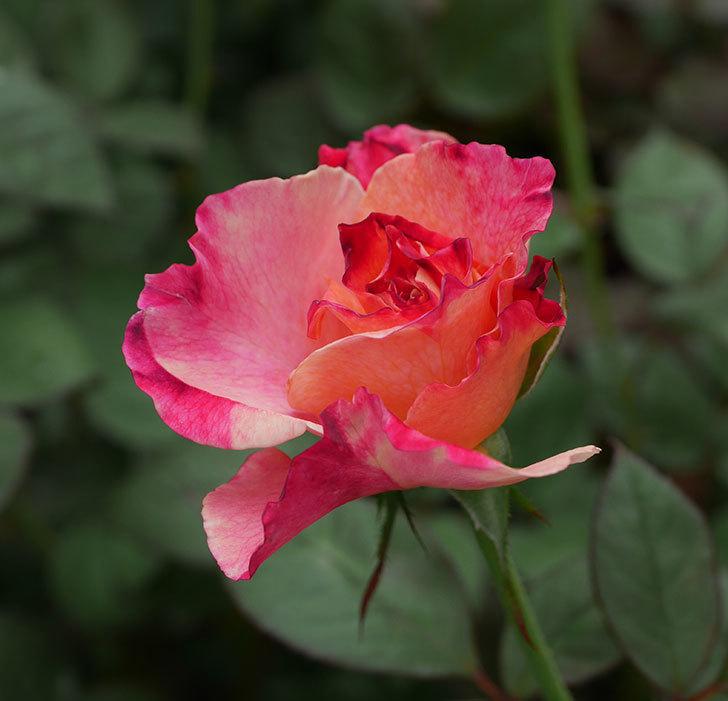 アブラカタブラ(木立バラ)の2番花が咲いた。2018年-6.jpg