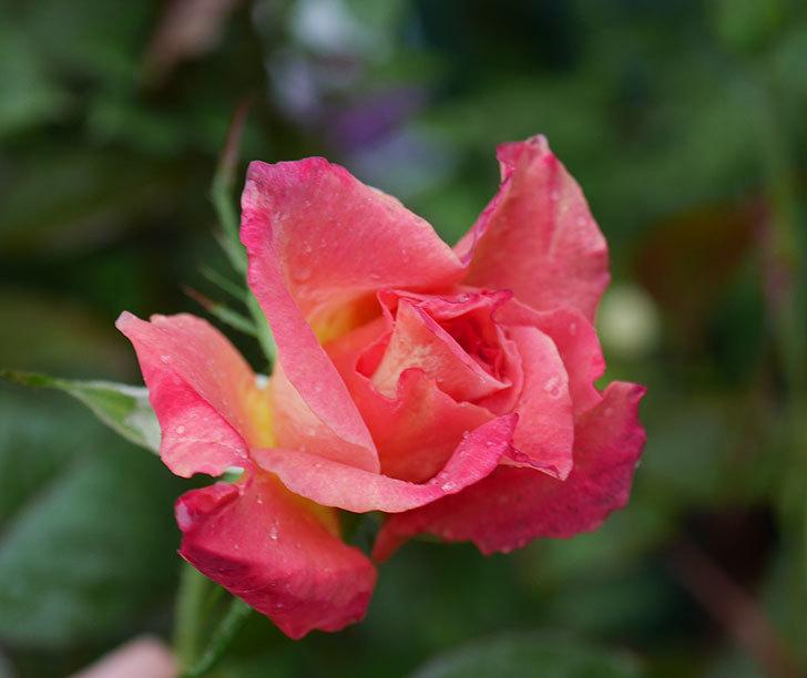 アブラカタブラ(木立バラ)の2番花が咲いた。2019年-1.jpg