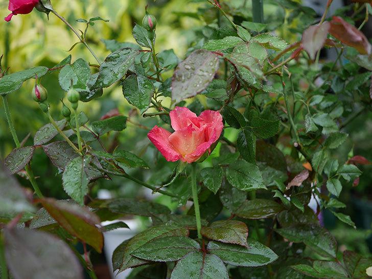 アブラカタブラ(木立バラ)の2番花が咲いた。2019年-2.jpg