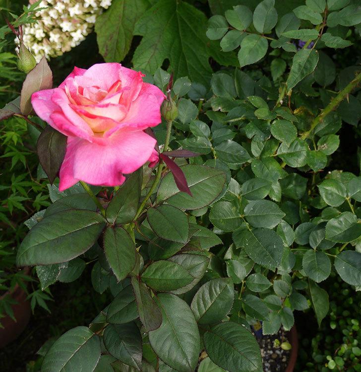アブラカタブラ(木立バラ)の2番花が綺麗に咲いた。2016年-3.jpg
