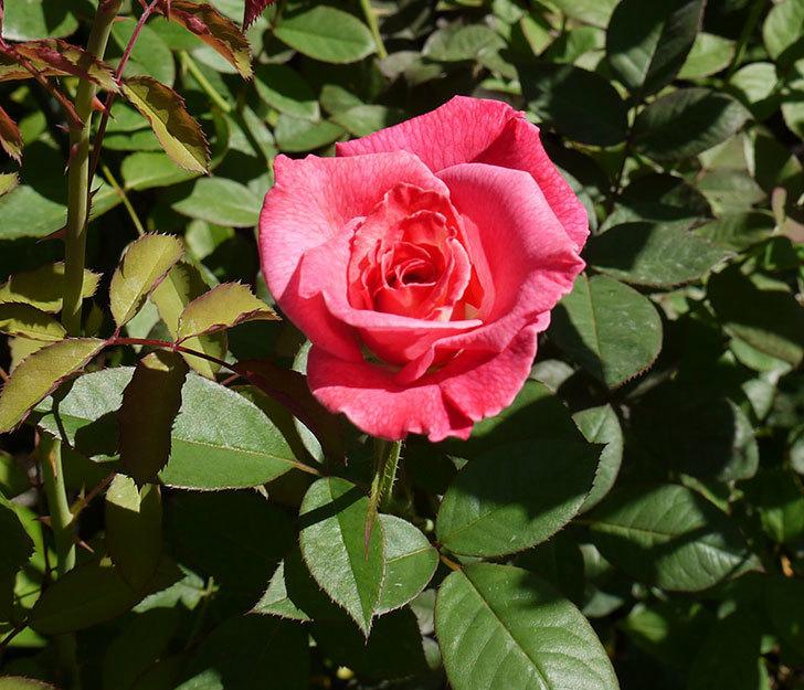 アブラカタブラ(木立バラ)の3番花が咲いた。2016年-1.jpg