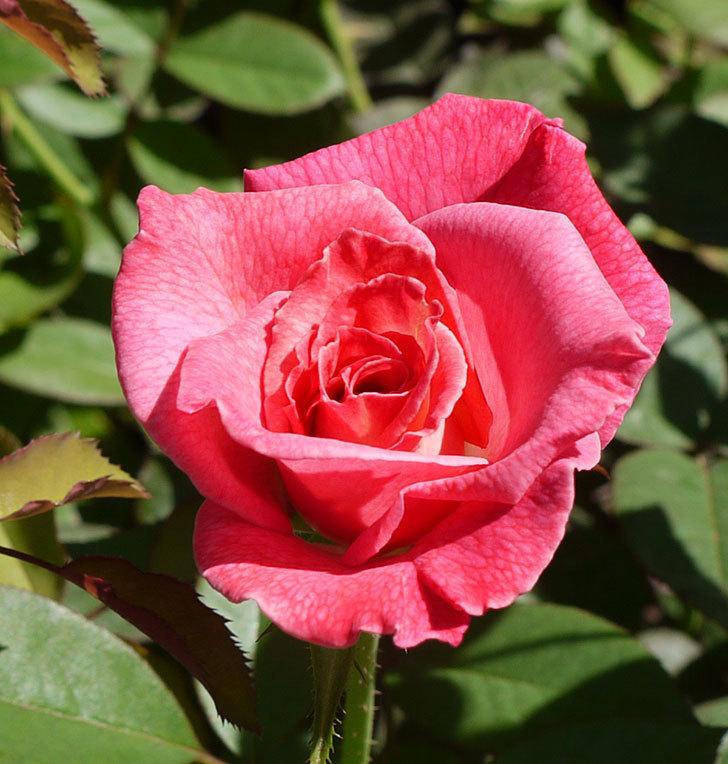 アブラカタブラ(木立バラ)の3番花が咲いた。2016年-2.jpg