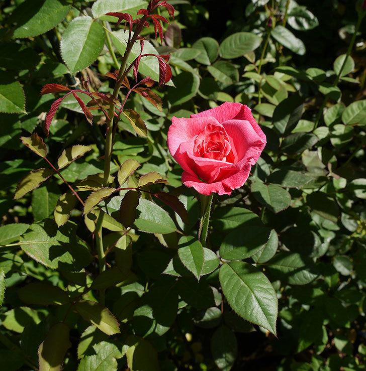 アブラカタブラ(木立バラ)の3番花が咲いた。2016年-3.jpg