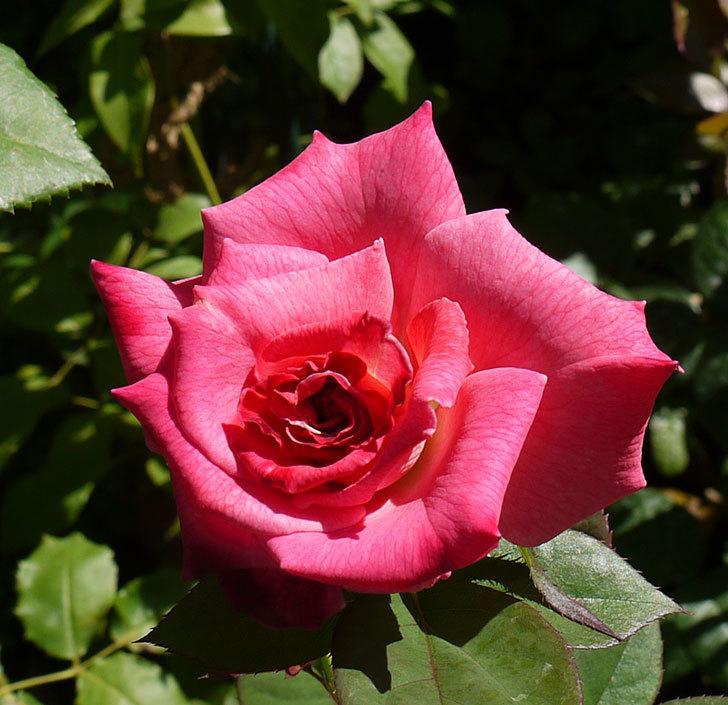 アブラカタブラ(木立バラ)の3番花が咲いた。2016年-5.jpg
