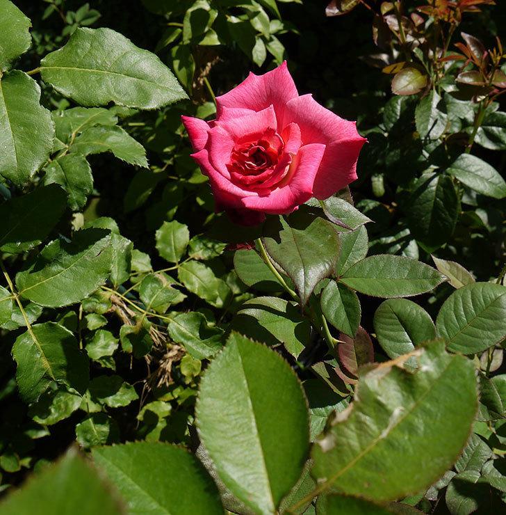 アブラカタブラ(木立バラ)の3番花が咲いた。2016年-6.jpg