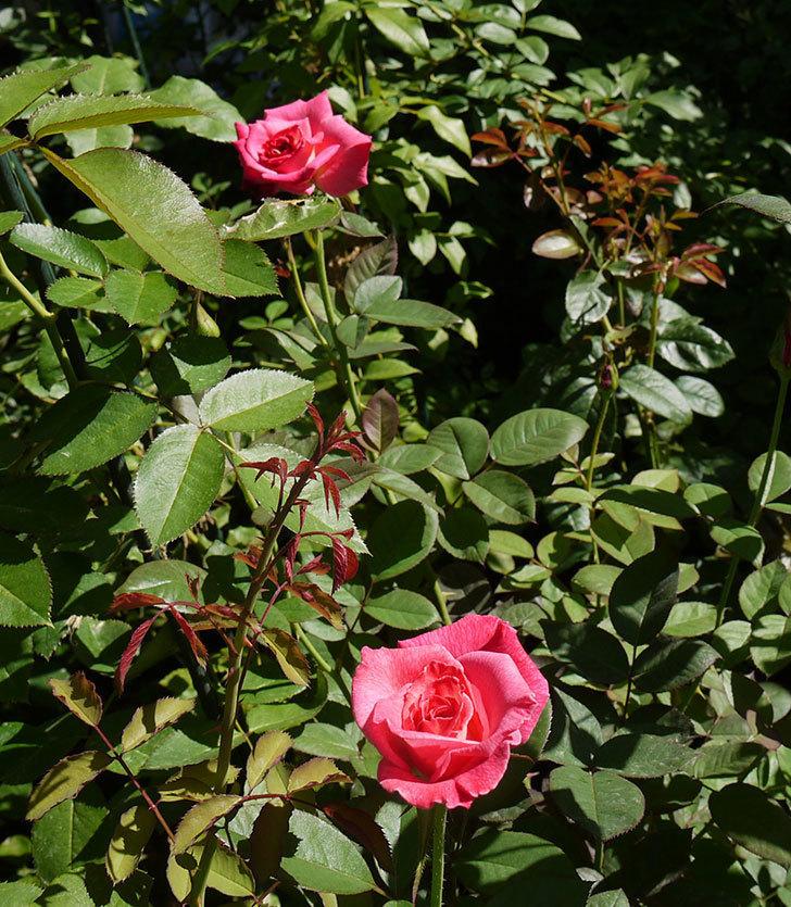 アブラカタブラ(木立バラ)の3番花が咲いた。2016年-7.jpg