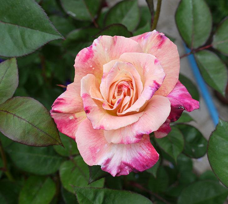 アブラカタブラ(木立バラ)のが咲いた。2017年-1.jpg