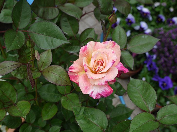 アブラカタブラ(木立バラ)のが咲いた。2017年-3.jpg