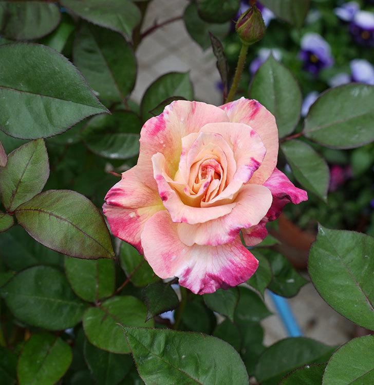 アブラカタブラ(木立バラ)のが咲いた。2017年-5.jpg