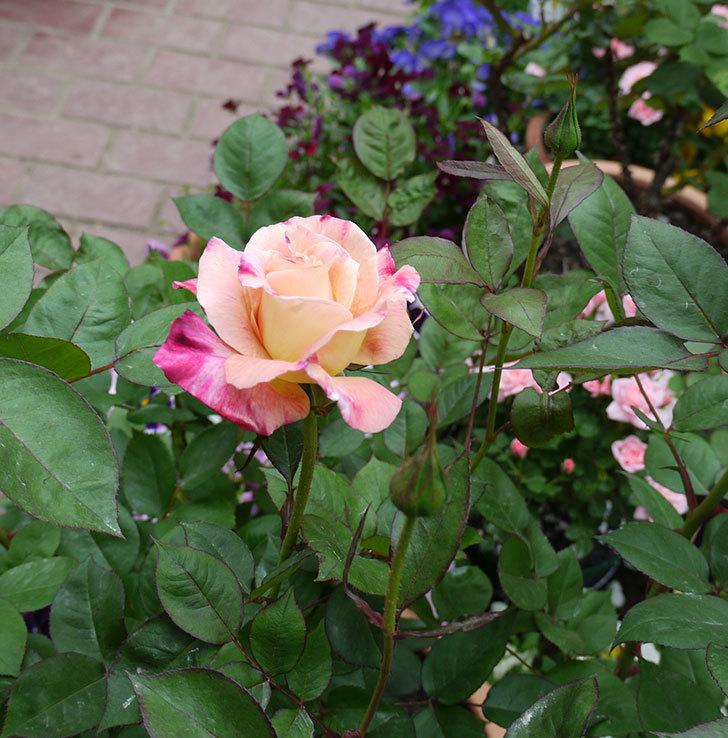 アブラカタブラ(木立バラ)のが咲いた。2017年-6.jpg