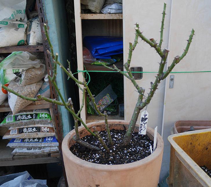 アブラカタブラ(木立バラ)の植え替えをした。2020年-6.jpg