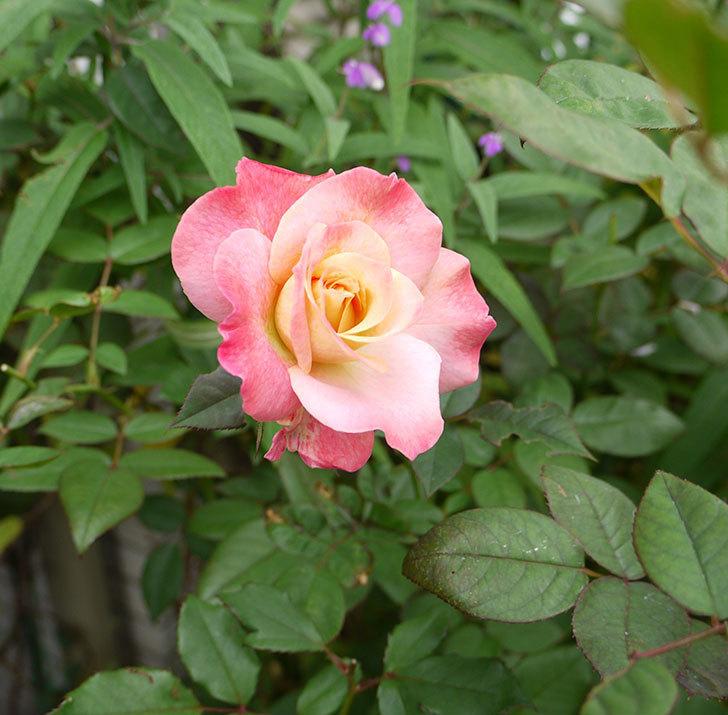 アブラカタブラ(木立バラ)の秋花がまた咲いた。2016年-4.jpg