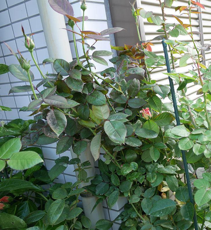 アブラカタブラ(木立バラ)の秋花が咲いた。2017年-4.jpg