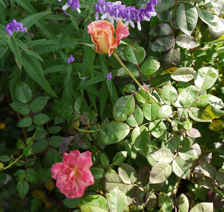 アブラカタブラ(木立バラ)の秋花が増えてきた。2016年-2.jpg
