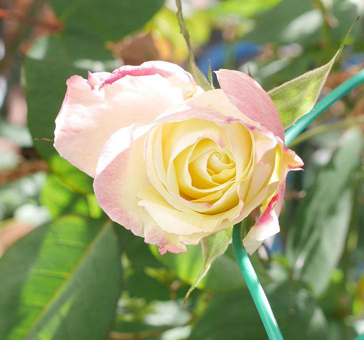 アブラカタブラ(木立バラ)の花が1個咲いていた。2019年-1.jpg