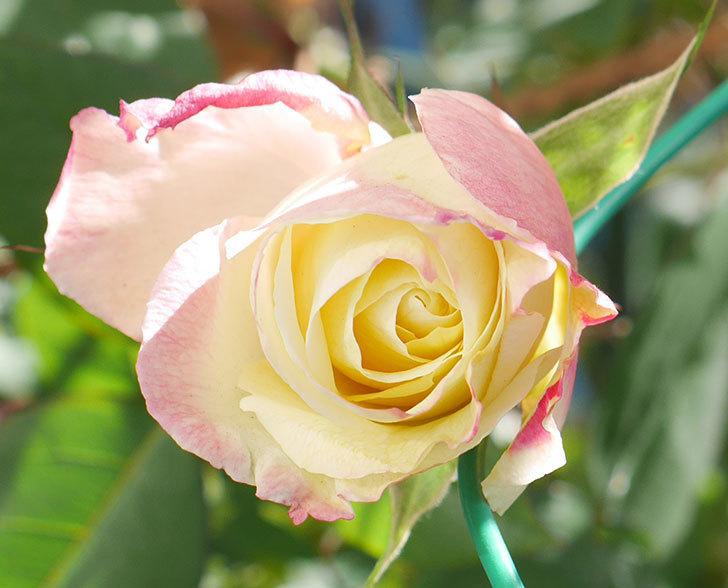 アブラカタブラ(木立バラ)の花が1個咲いていた。2019年-2.jpg