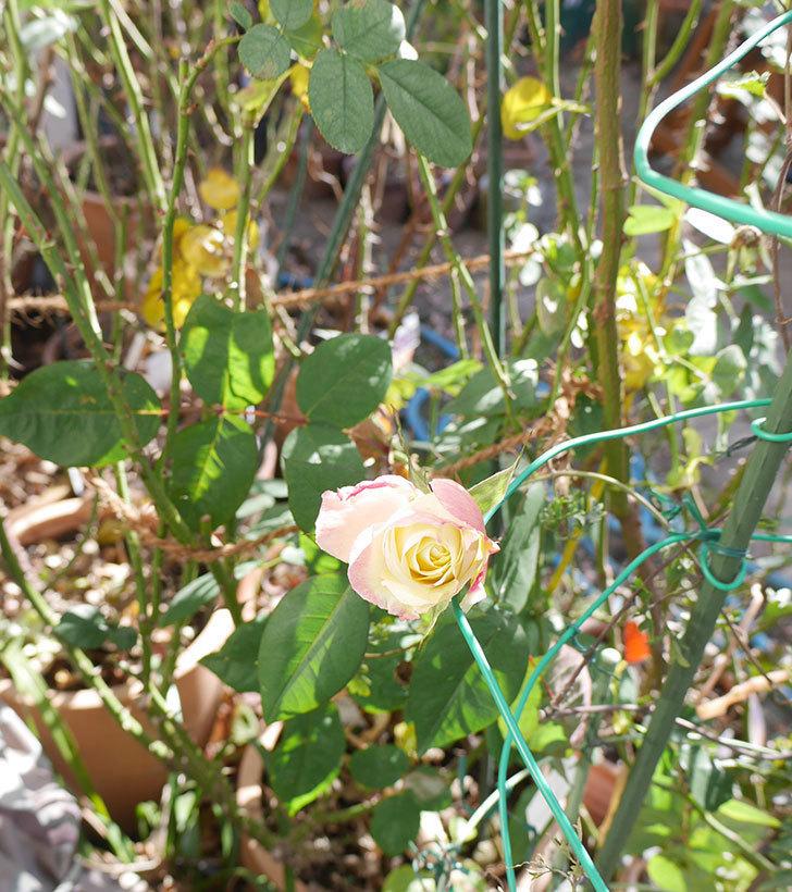 アブラカタブラ(木立バラ)の花が1個咲いていた。2019年-4.jpg