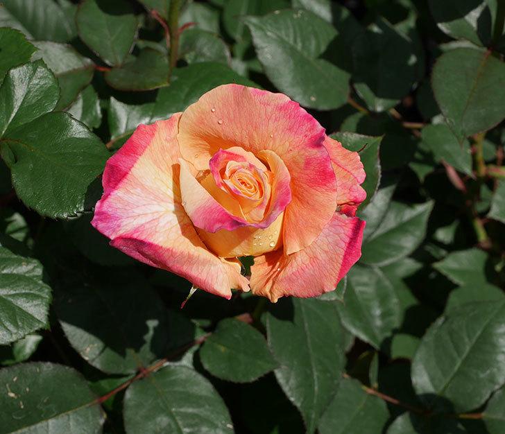 アブラカタブラ(木立バラ)の花が2個咲きだした。2019年-1.jpg