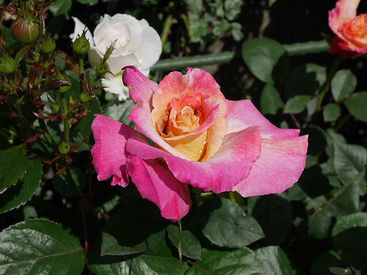 アブラカタブラ(木立バラ)の花が2個咲きだした。2019年-3.jpg