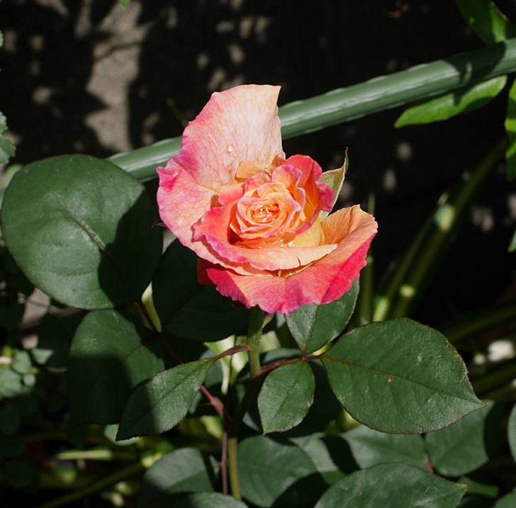 アブラカタブラ(木立バラ)の花が2個咲きだした。2019年-5.jpg