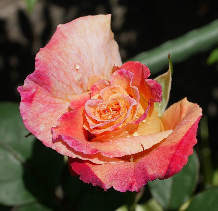 アブラカタブラ(木立バラ)の花が2個咲きだした。2019年-6.jpg