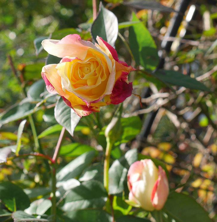 アブラカタブラ(木立バラ)の花が3個咲いた。2020年-1.jpg