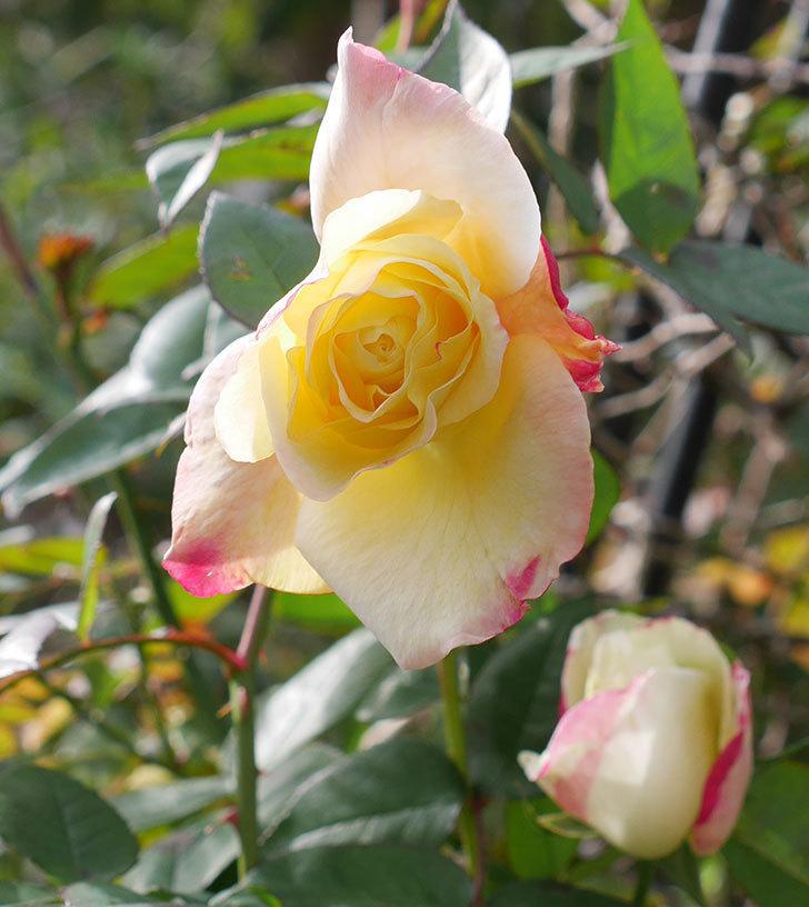 アブラカタブラ(木立バラ)の花が3個咲いた。2020年-10.jpg