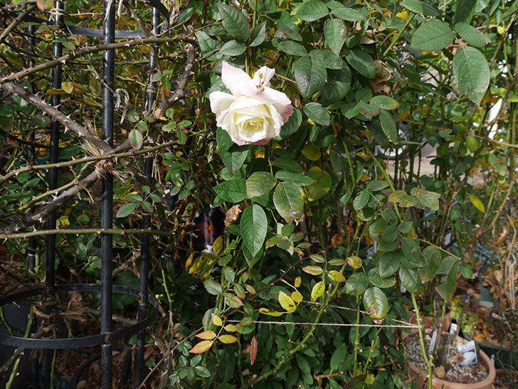 アブラカタブラ(木立バラ)の花が3個咲いた。2020年-12.jpg