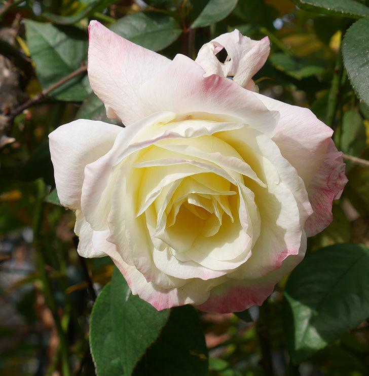 アブラカタブラ(木立バラ)の花が3個咲いた。2020年-13.jpg