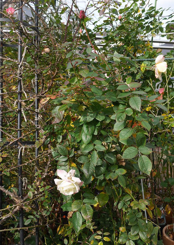 アブラカタブラ(木立バラ)の花が3個咲いた。2020年-14.jpg