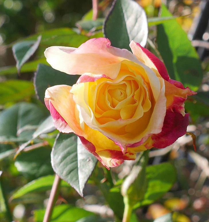 アブラカタブラ(木立バラ)の花が3個咲いた。2020年-2.jpg