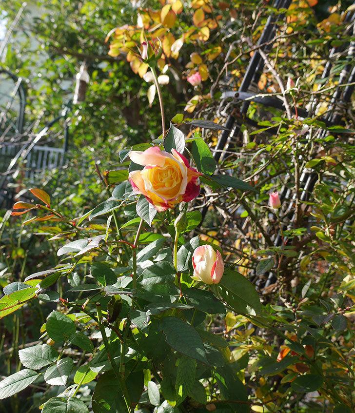 アブラカタブラ(木立バラ)の花が3個咲いた。2020年-4.jpg