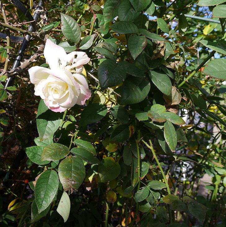 アブラカタブラ(木立バラ)の花が3個咲いた。2020年-5.jpg