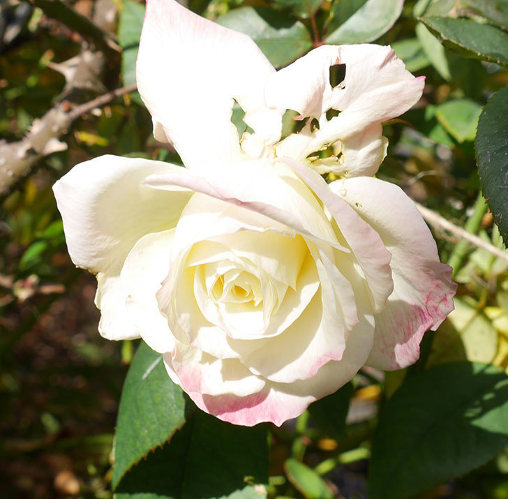 アブラカタブラ(木立バラ)の花が3個咲いた。2020年-6.jpg