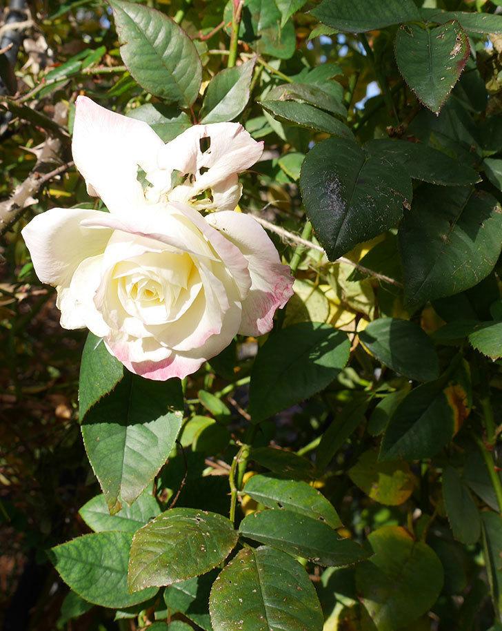 アブラカタブラ(木立バラ)の花が3個咲いた。2020年-7.jpg