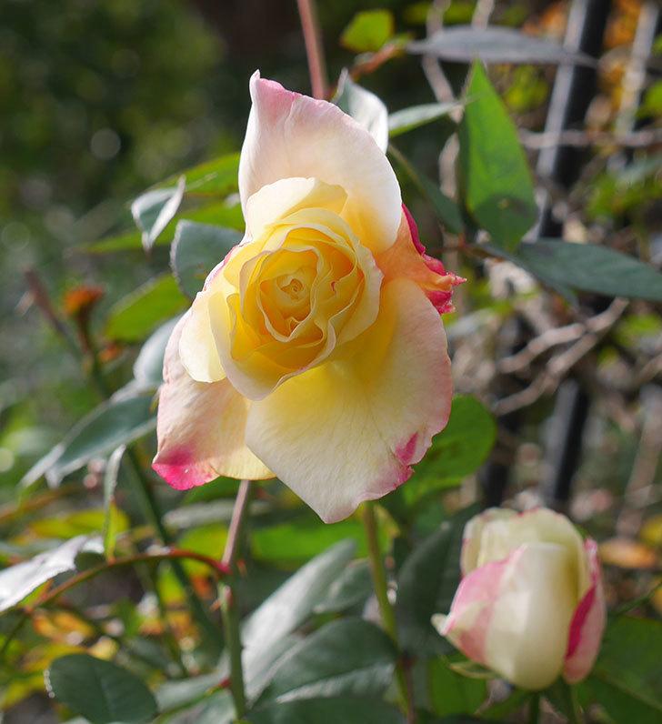 アブラカタブラ(木立バラ)の花が3個咲いた。2020年-8.jpg