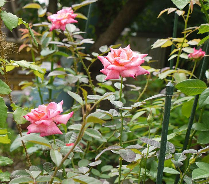 アブラカタブラ(木立バラ)の花が5個咲いた。2016年-1.jpg