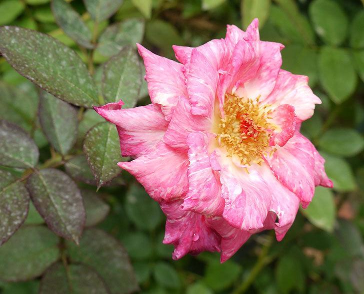 アブラカタブラ(木立バラ)の花が5個咲いた。2016年-2.jpg