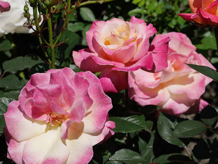 アブラカタブラ(木立バラ)の花がたくさん咲いた。2019年-1.jpg