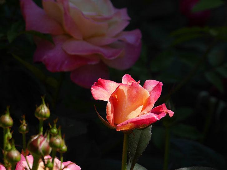 アブラカタブラ(木立バラ)の花がたくさん咲いた。2019年-4.jpg
