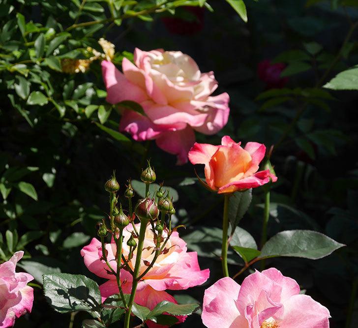 アブラカタブラ(木立バラ)の花がたくさん咲いた。2019年-5.jpg