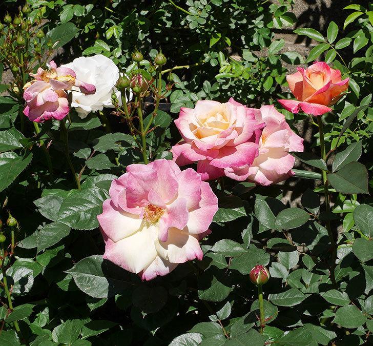 アブラカタブラ(木立バラ)の花がたくさん咲いた。2019年-6.jpg