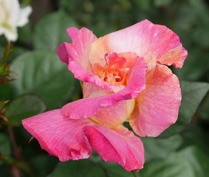 アブラカタブラ(木立バラ)の花がまた咲きだした。2019年-4.jpg